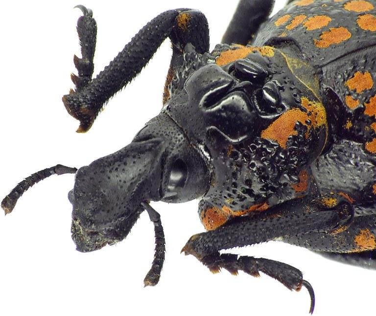 Brachycerus granosus 31972cz80.jpg