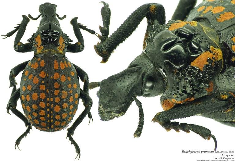 Brachycerus granosus.jpg