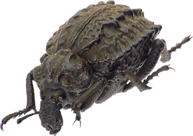 Brachycerus undatus 39054cz66.jpg