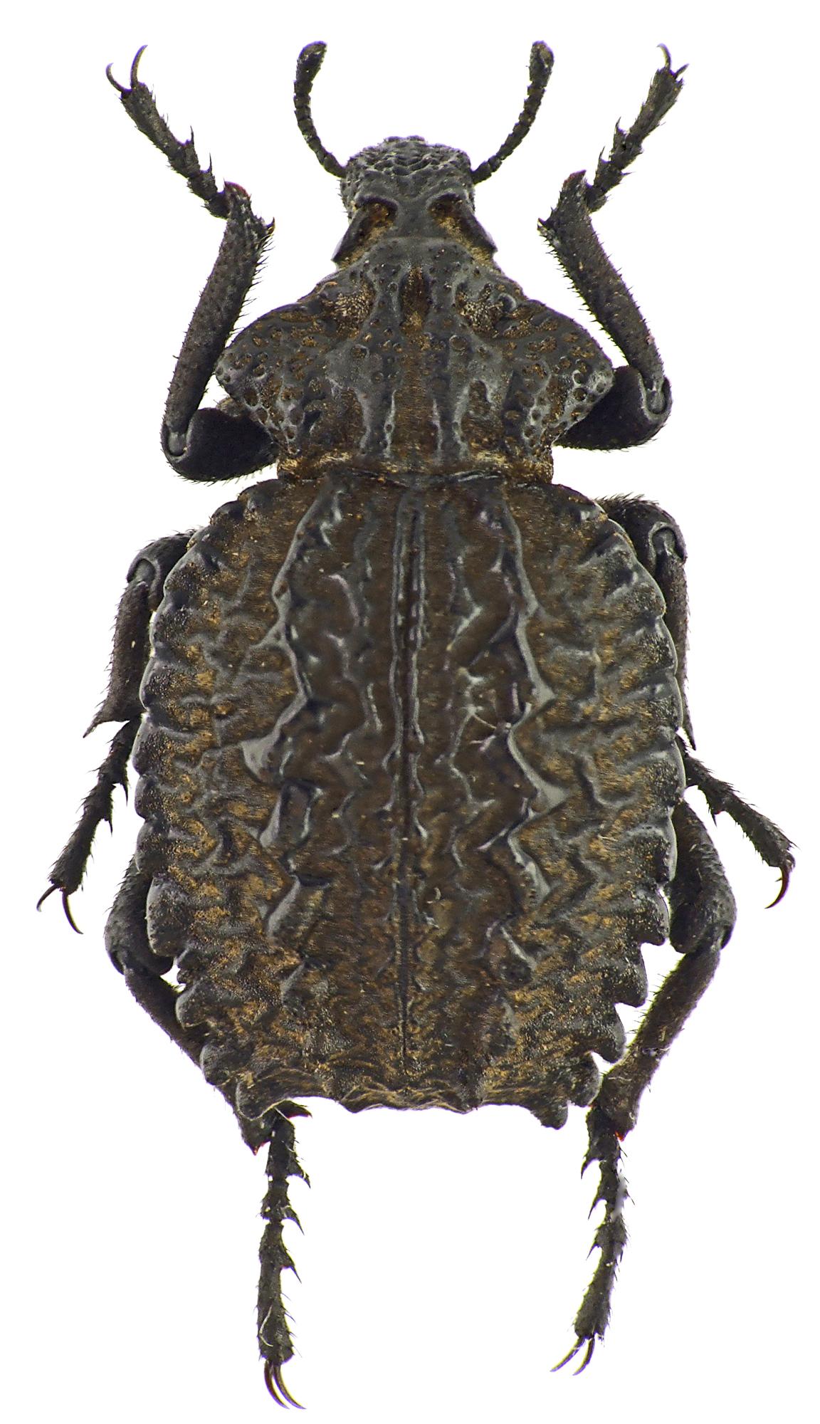 Brachycerus undatus 39078cz85.jpg