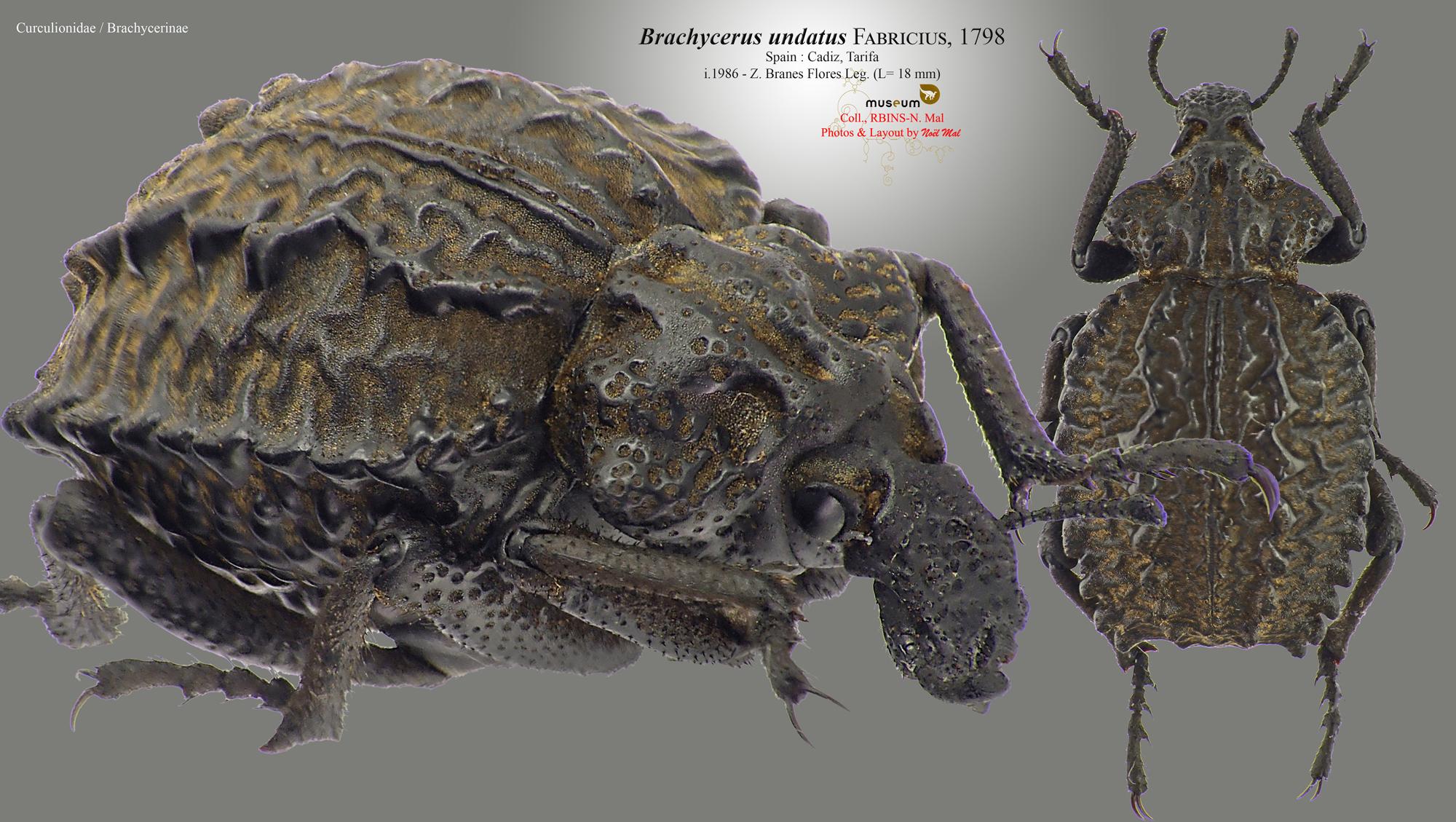 Brachycerus undatus.jpg