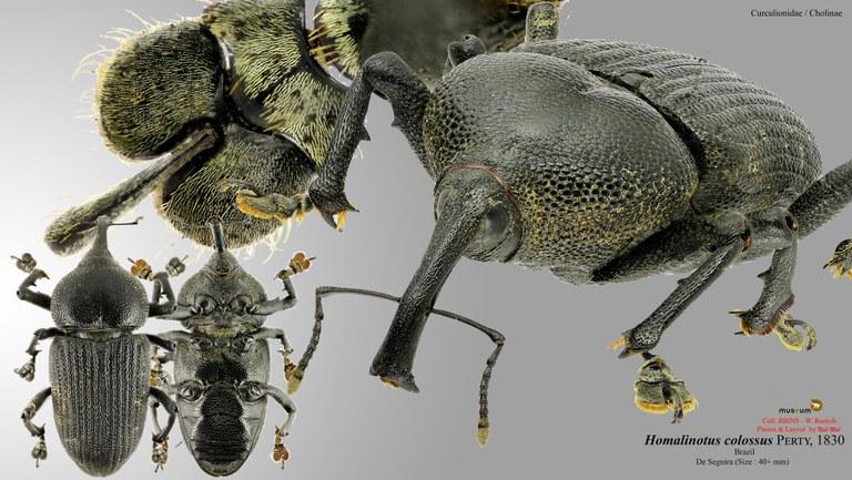 Homalinotus colossus.jpg