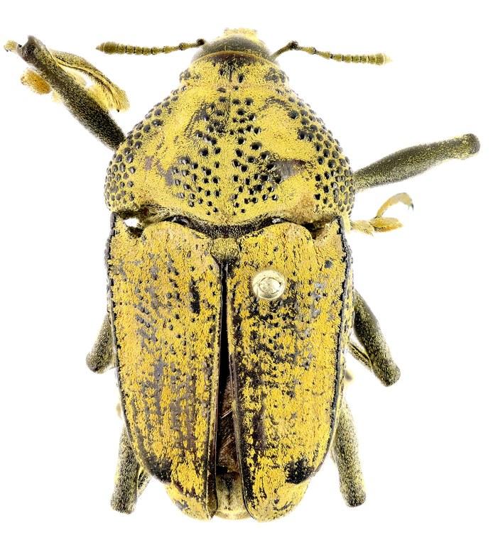 Rhinastus granulatus T Eos 2822ZS44 PMax.jpg