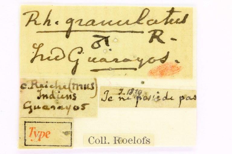 Rhinastus granulatus type lables EOS 70D 2877.jpg