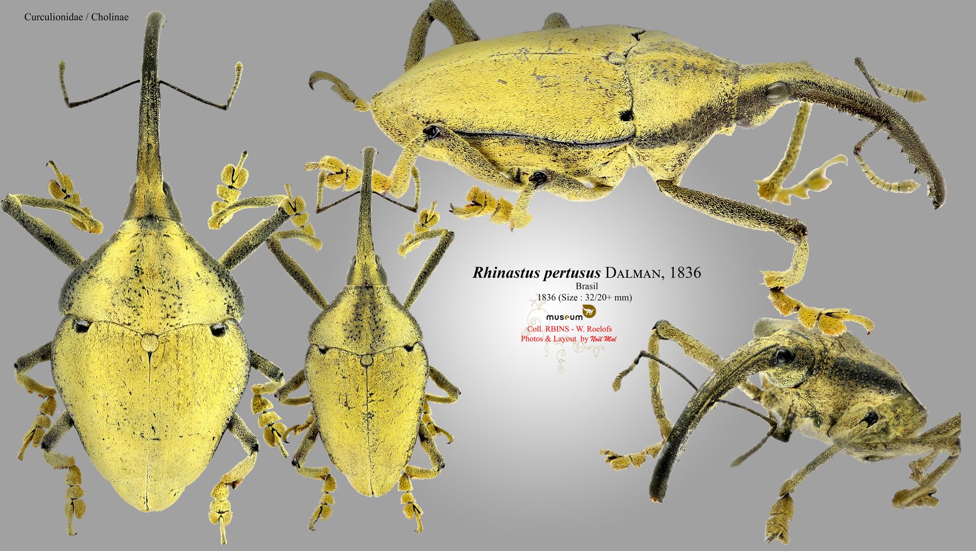 Rhinastus pertusus.jpg