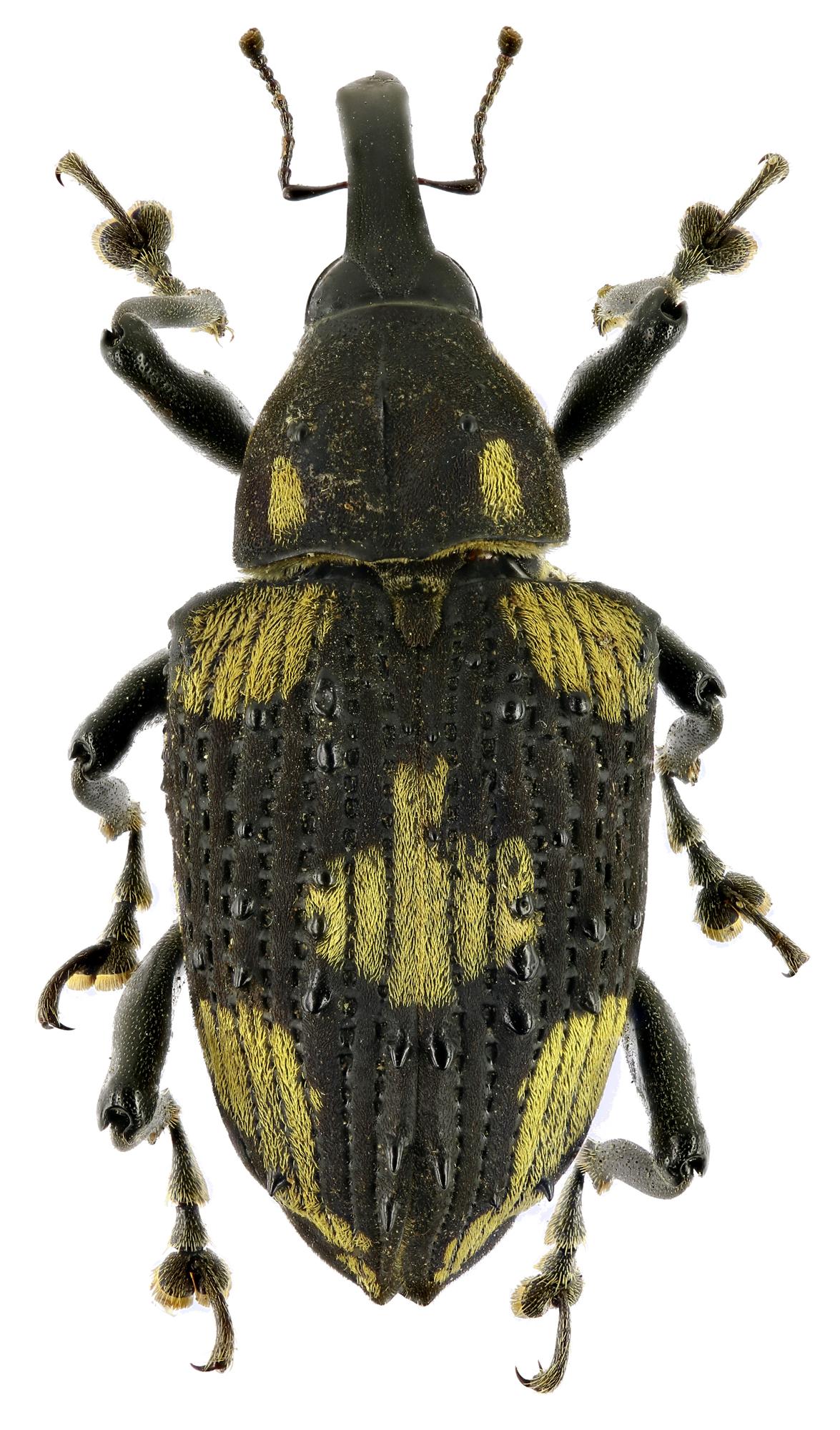 Cratosomus dejeani EOS70D4089zs08p.jpg