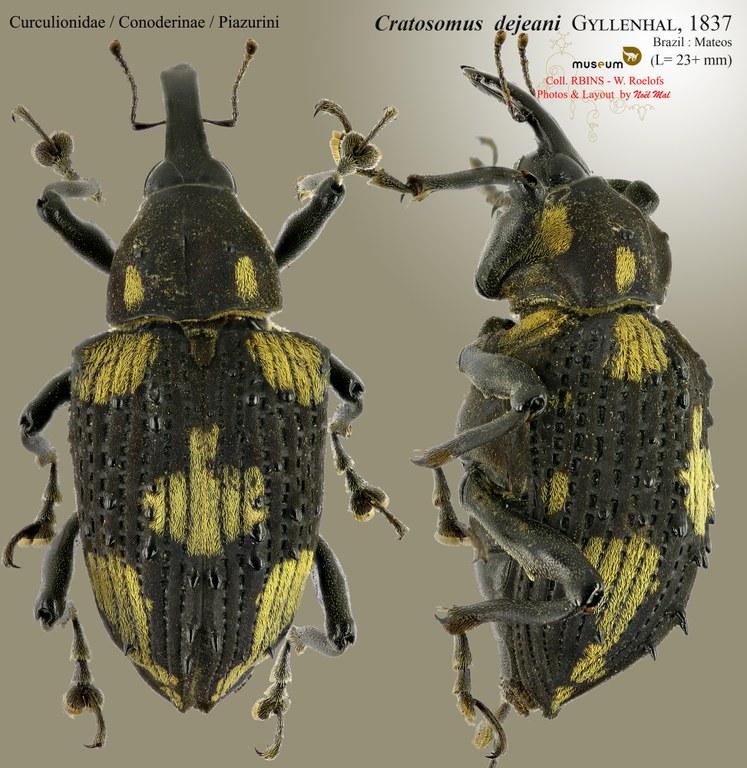 Cratosomus dejeani.jpg