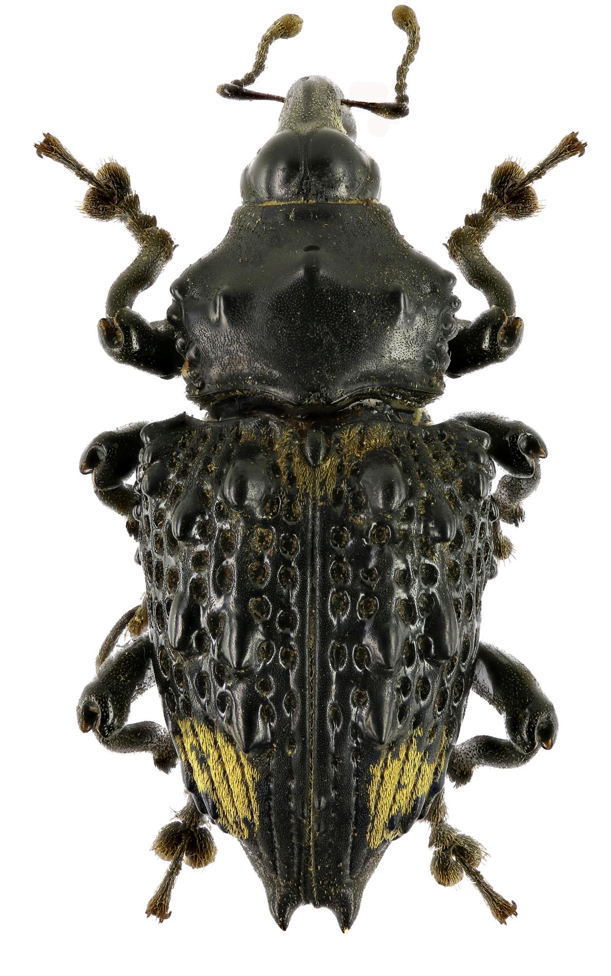 Cratosomus vaginalis f EOS70D4348cz85.jpg