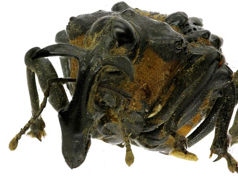 Cratosomus vaginalis EOS70D4794zs36.jpg