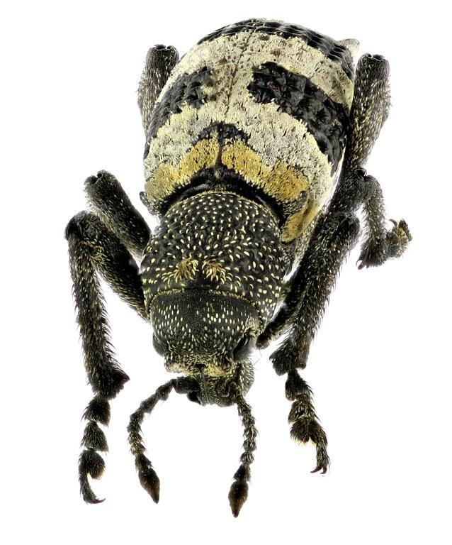 Lophotus phaleratus Eos 20681 ZS26dr.jpg