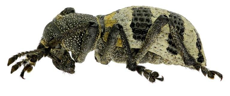 Lophotus phaleratus Eos 2655 ZS80dr.jpg