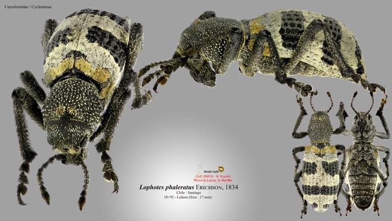Lophotus phaleratus.jpg