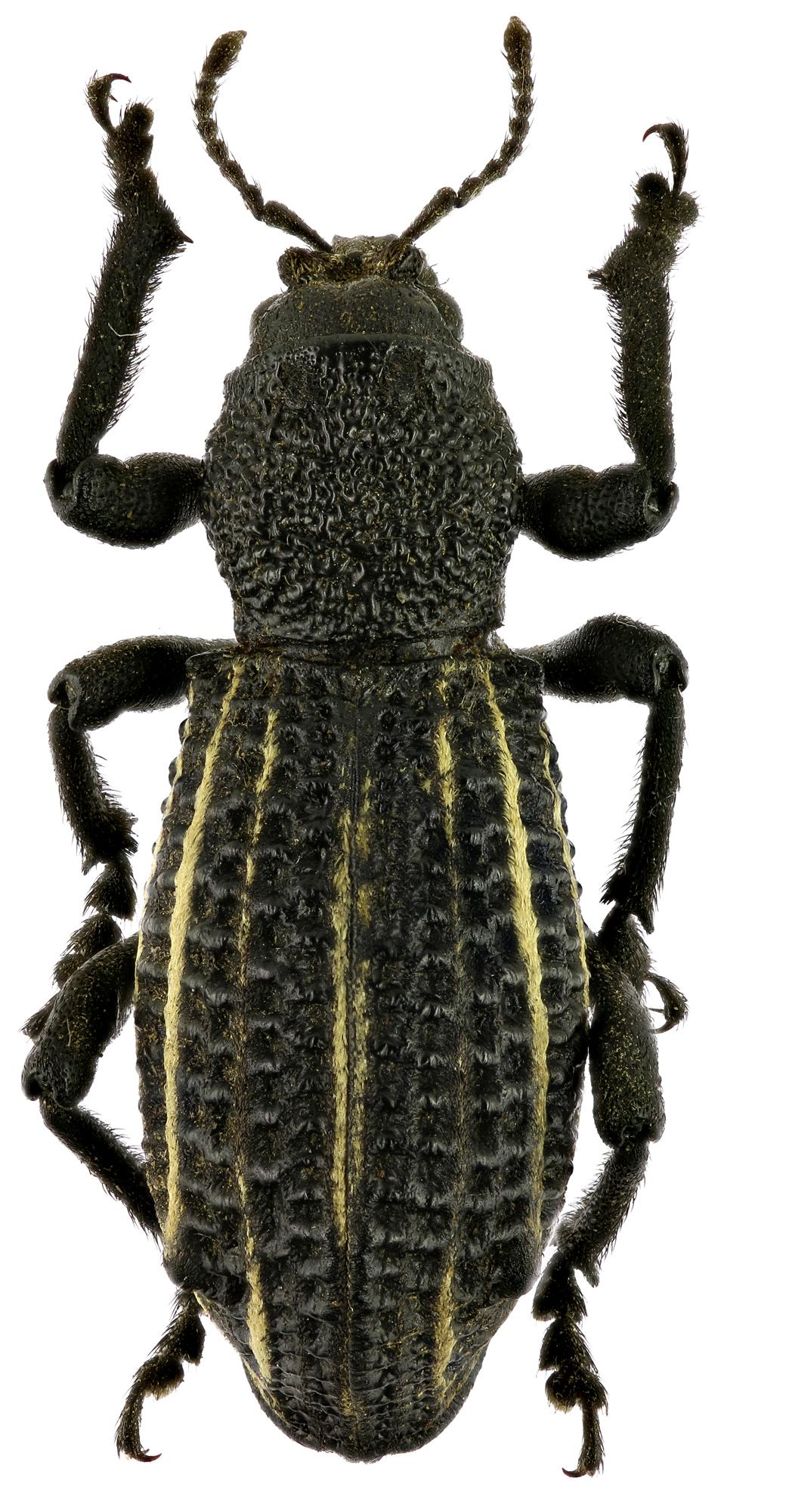 Lophotus albolineatus EOS 70D 2389zs18P.jpg