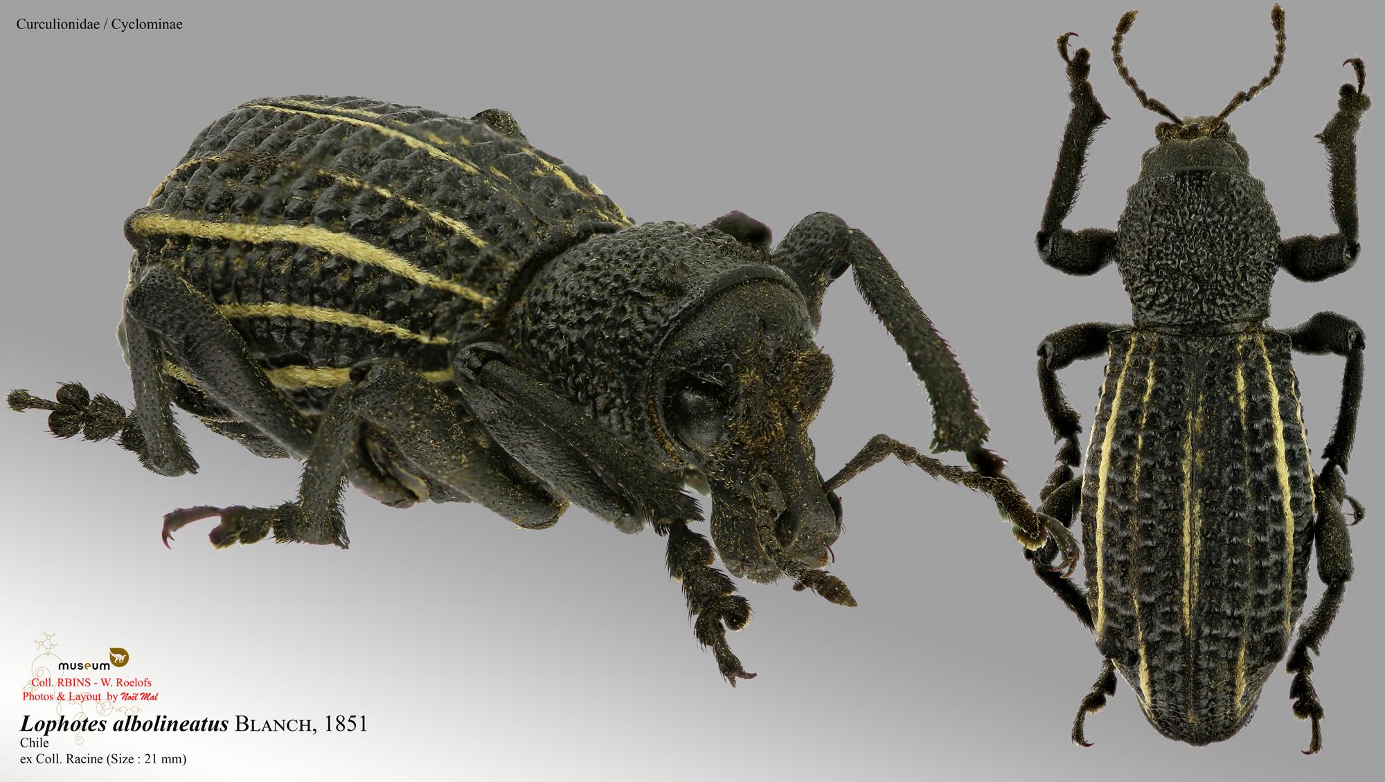 Lophotus albolineatus.jpg
