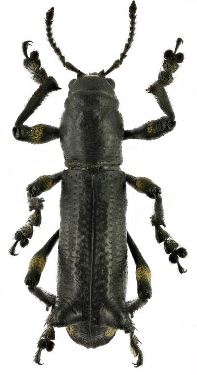 Lophotus nodipennis EOS 70D 2467zs02P.jpg