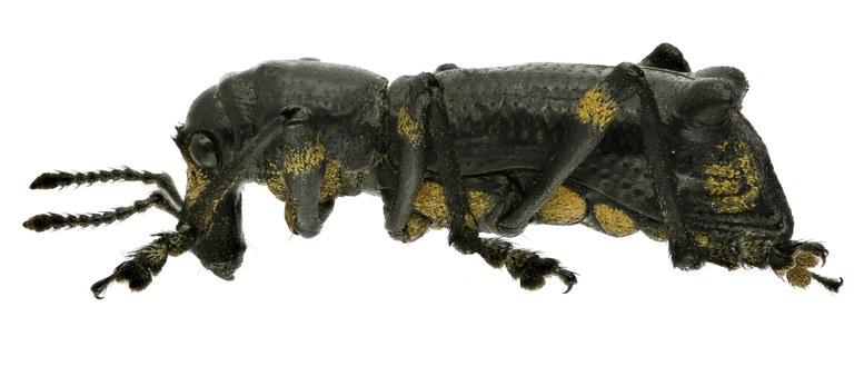 Lophotus nodipennis EOS 70D 2503zs36.jpg