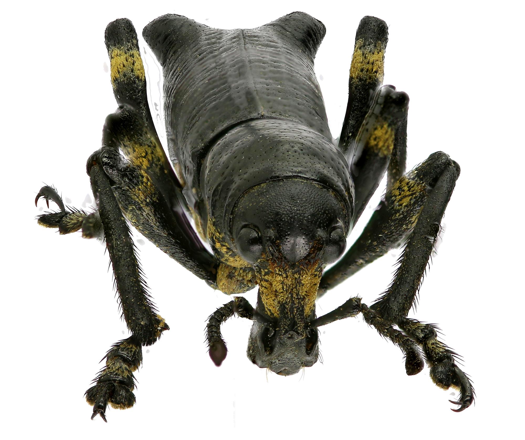 Lophotus nodipennis EOS 70D 2537zst8Dr.jpg