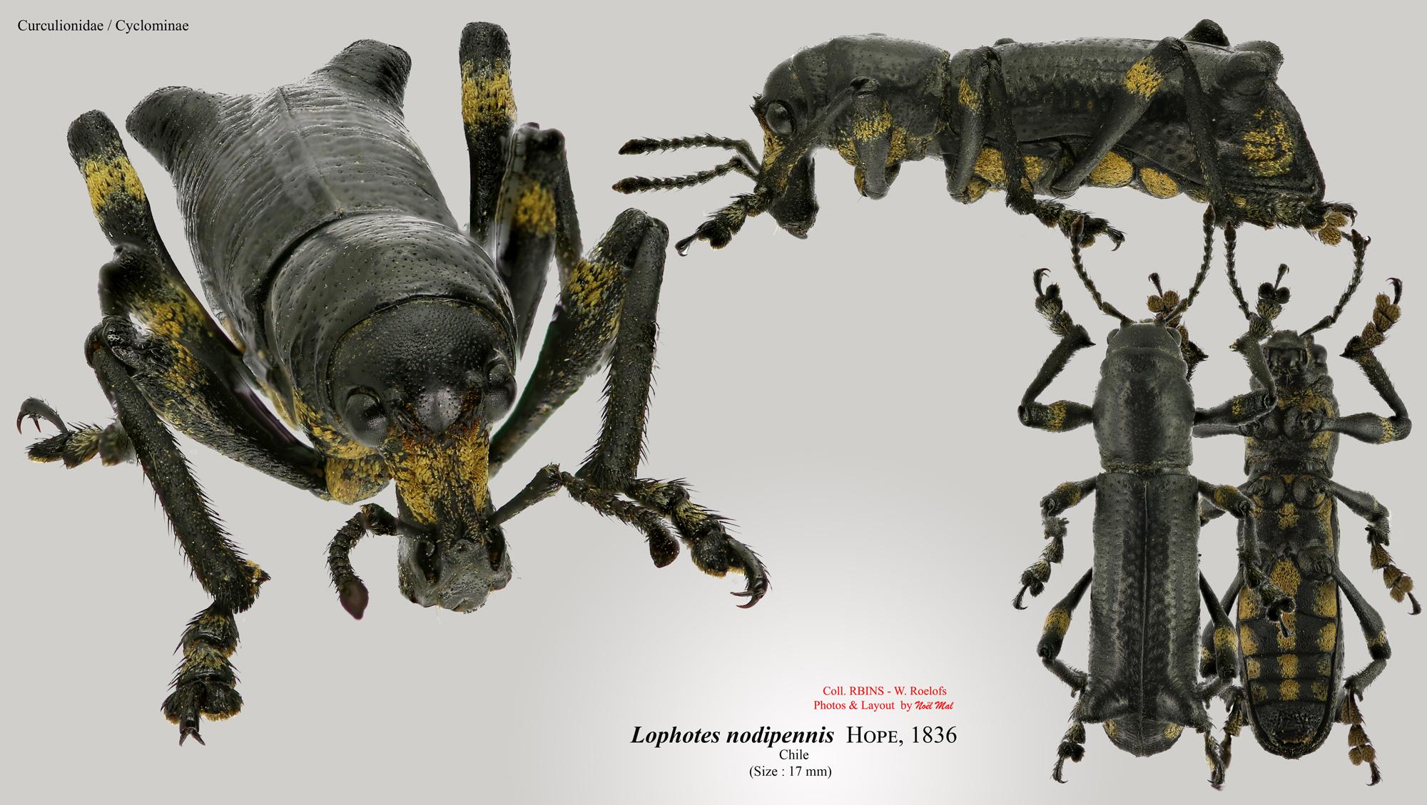 Lophotus nodipennis.jpg