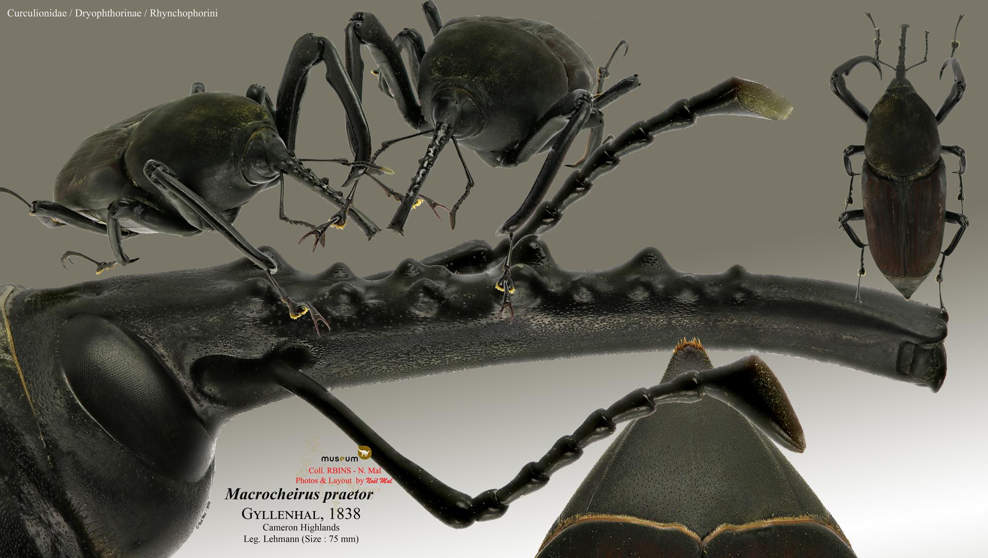 Macrocheirus praetor.jpg
