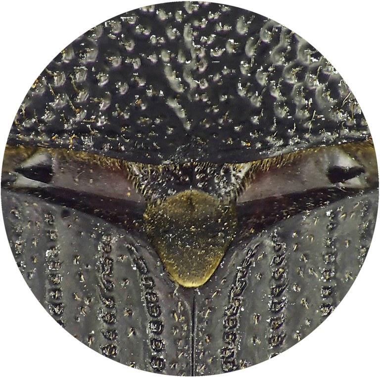 Rhinostomus barbirostris L.jpg
