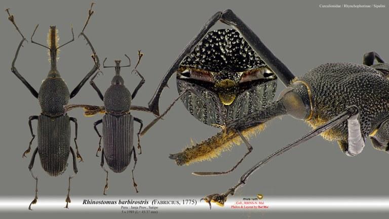 Rhinostomus barbirostris.jpg