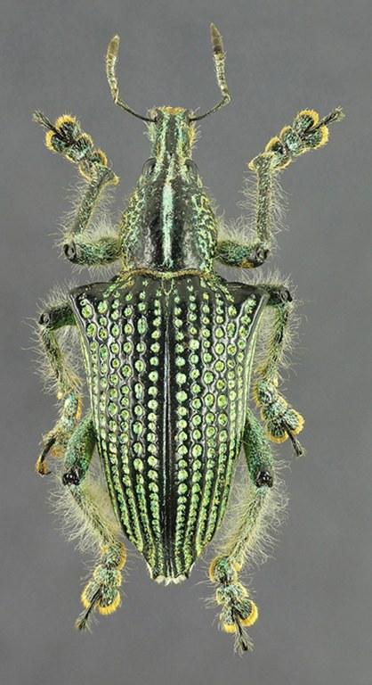 Entimus imperialis 13416cz22.jpg