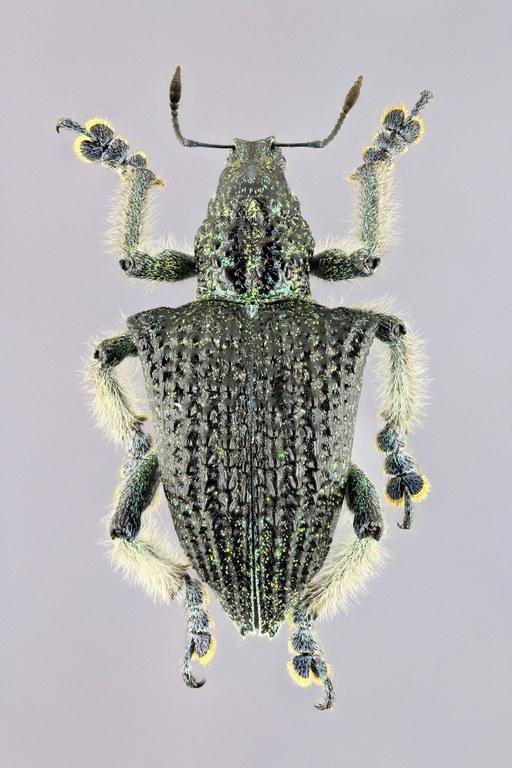 Entimus nobilis EOS 70D 6618zs42p.jpg