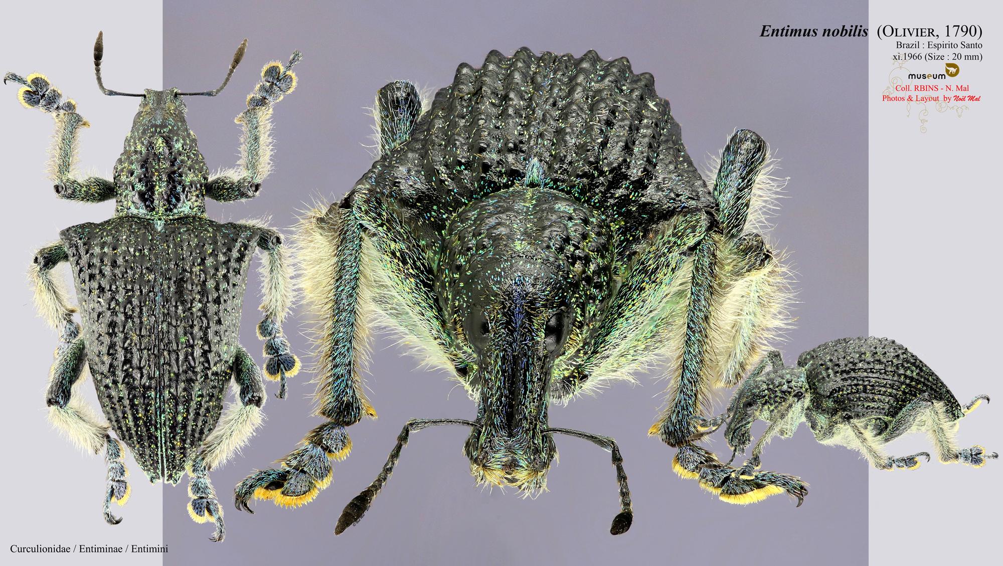 Entimus nobilis.jpg