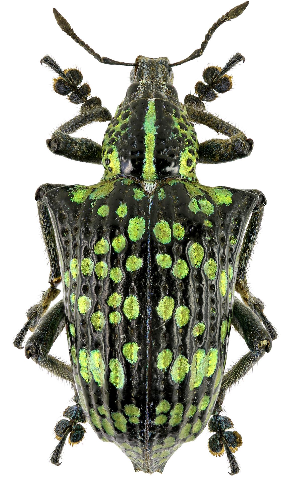 Entimus splendidus Eos576cz88.jpg