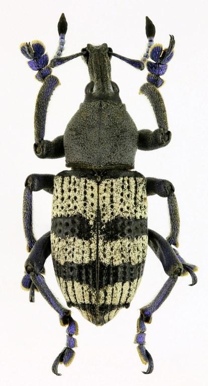 Eupholus albofasciatus EOS 70D 5428zs53d.jpg