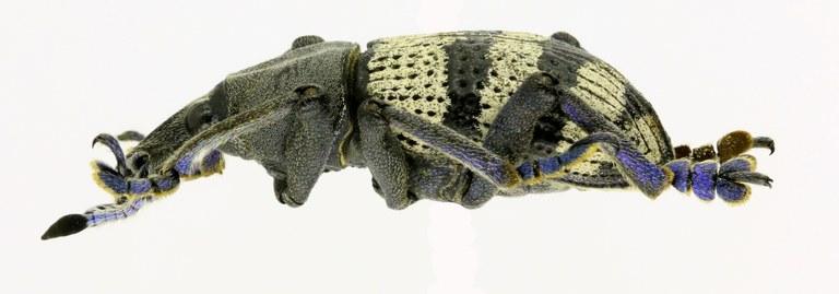 Eupholus albofasciatus EOS 70D 5454cz70.jpg