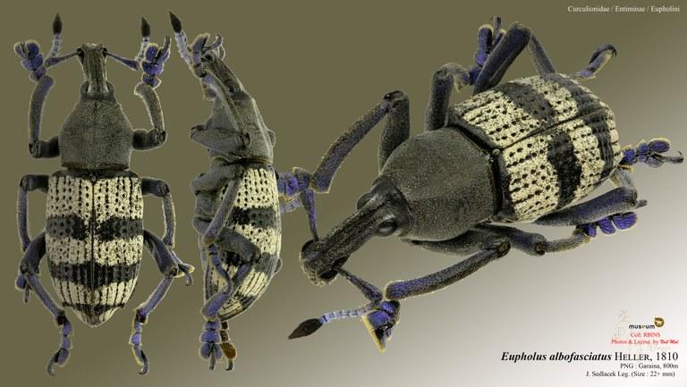 Eupholus albofasciatus.jpg