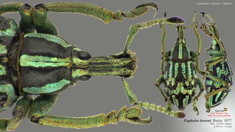 Eupholus browni.jpg