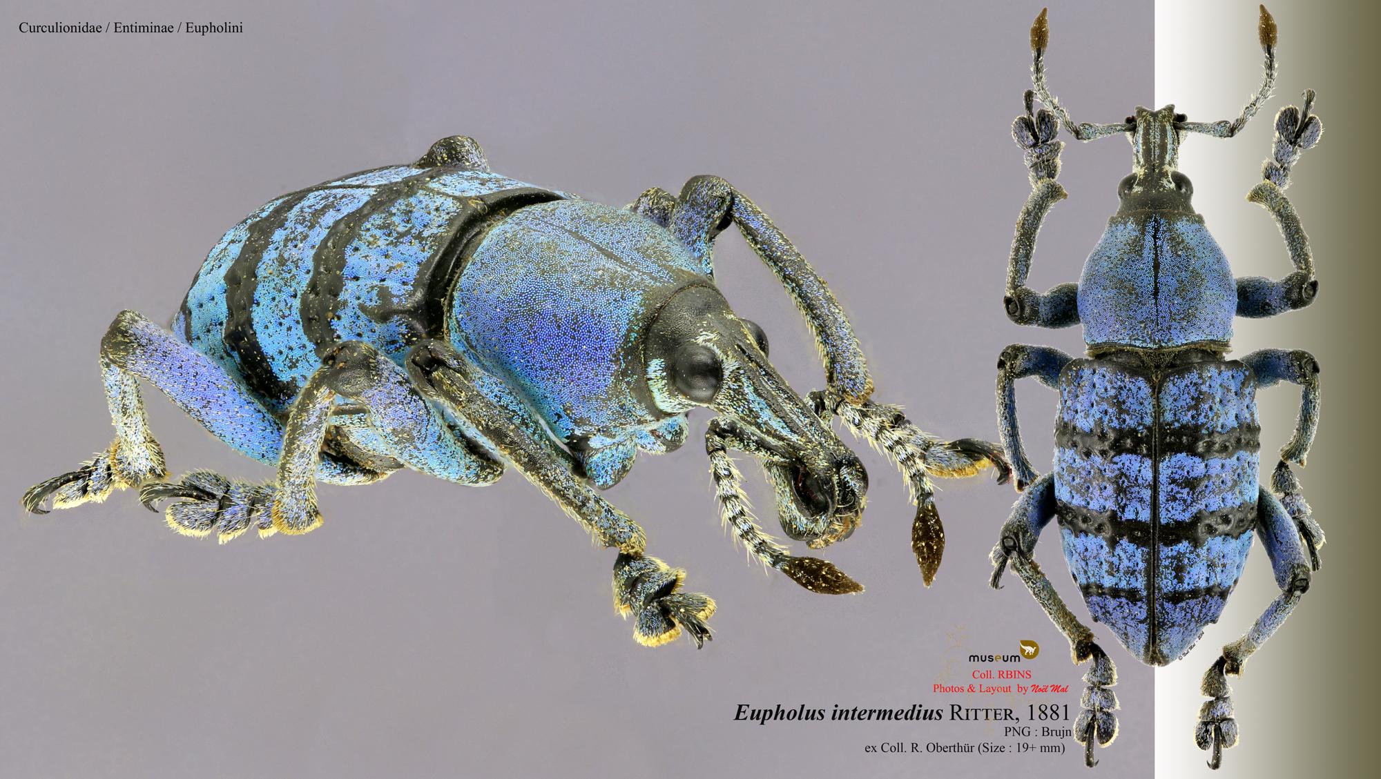 Eupholus intermedius.jpg