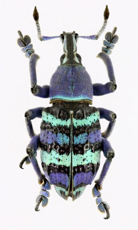Eupholus magnificus magnificus EOS 70D 5172cz95.jpg