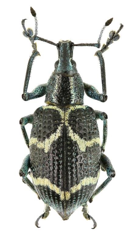 Exophthalmus crassicornis Eos214cz24.jpg