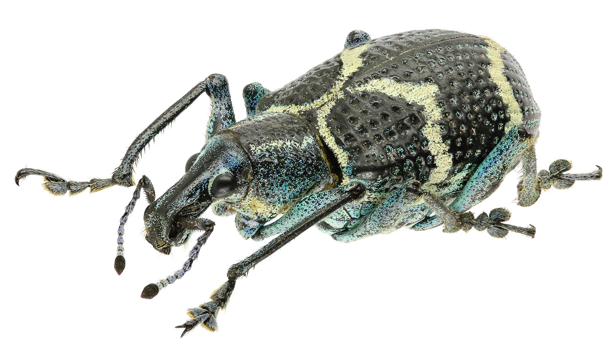 Exophthalmus crassicornis Eos225cz44.jpg