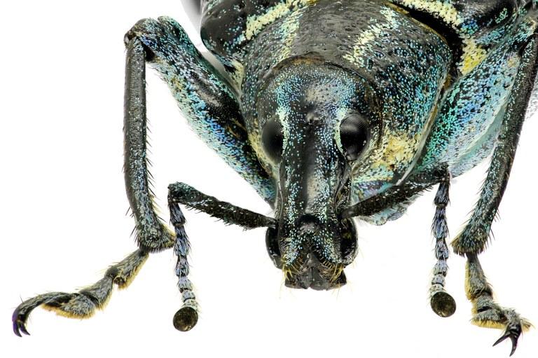 Exophthalmus crassicornis Eos254ZS311 r.jpg
