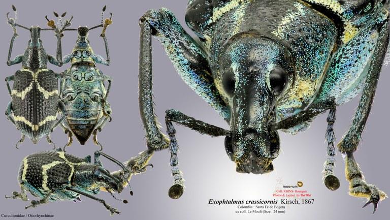 Exophthalmus crassicornis.jpg