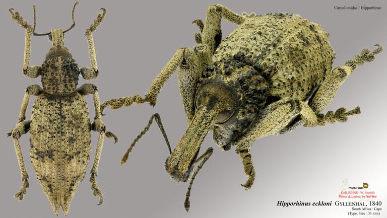 Hipporhinus eckloni.jpg