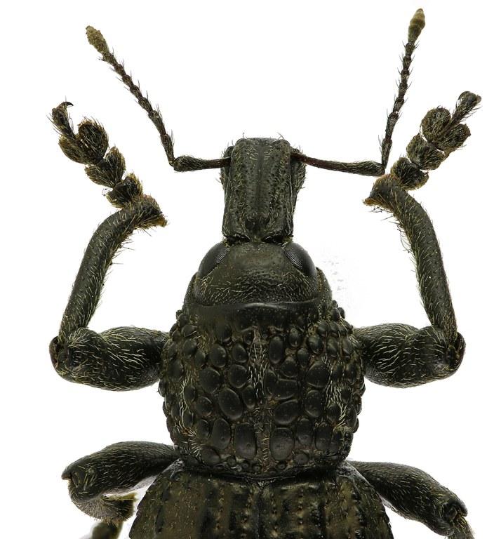 Hipporhinus verrucosus Eos 2308cz18.jpg