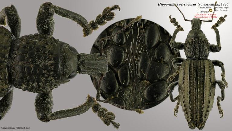 Hipporhinus verrucosus.jpg