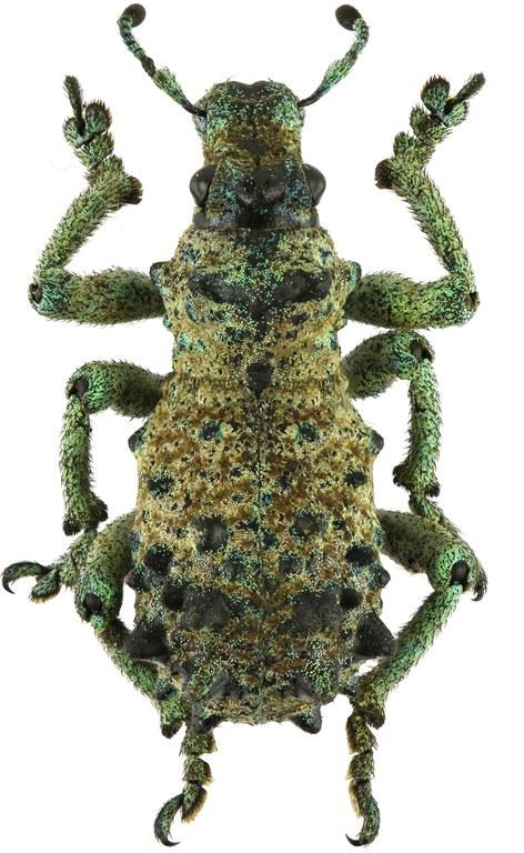 Holonychus acanthopus Eos 639cz53.jpg