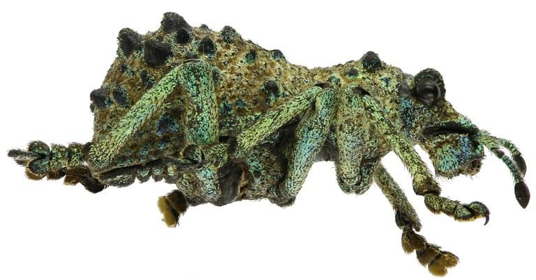 Holonychus acanthopus Eos 654cz70.jpg