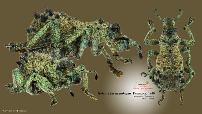 Holonychus acanthopus.jpg