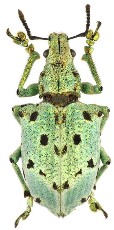 Lamprocyphus germari 82507cz15.jpg