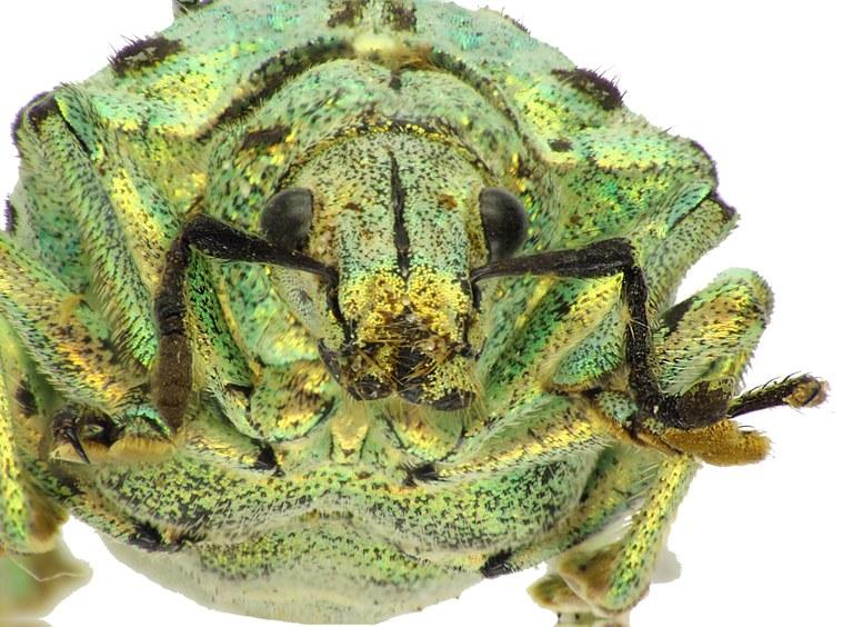 Lamprocyphus germari 82542cz62.jpg