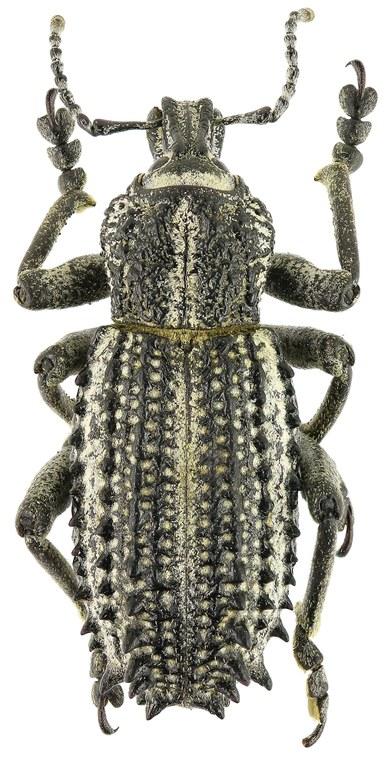 Leptopius colossus Eos534cz50.jpg