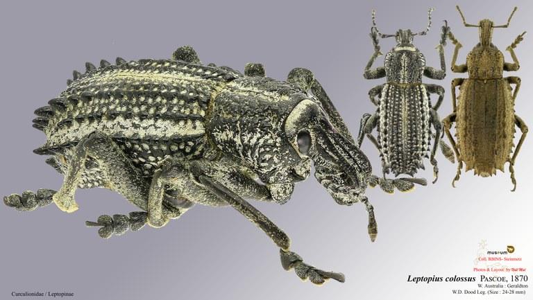 Leptopius colossus.jpg