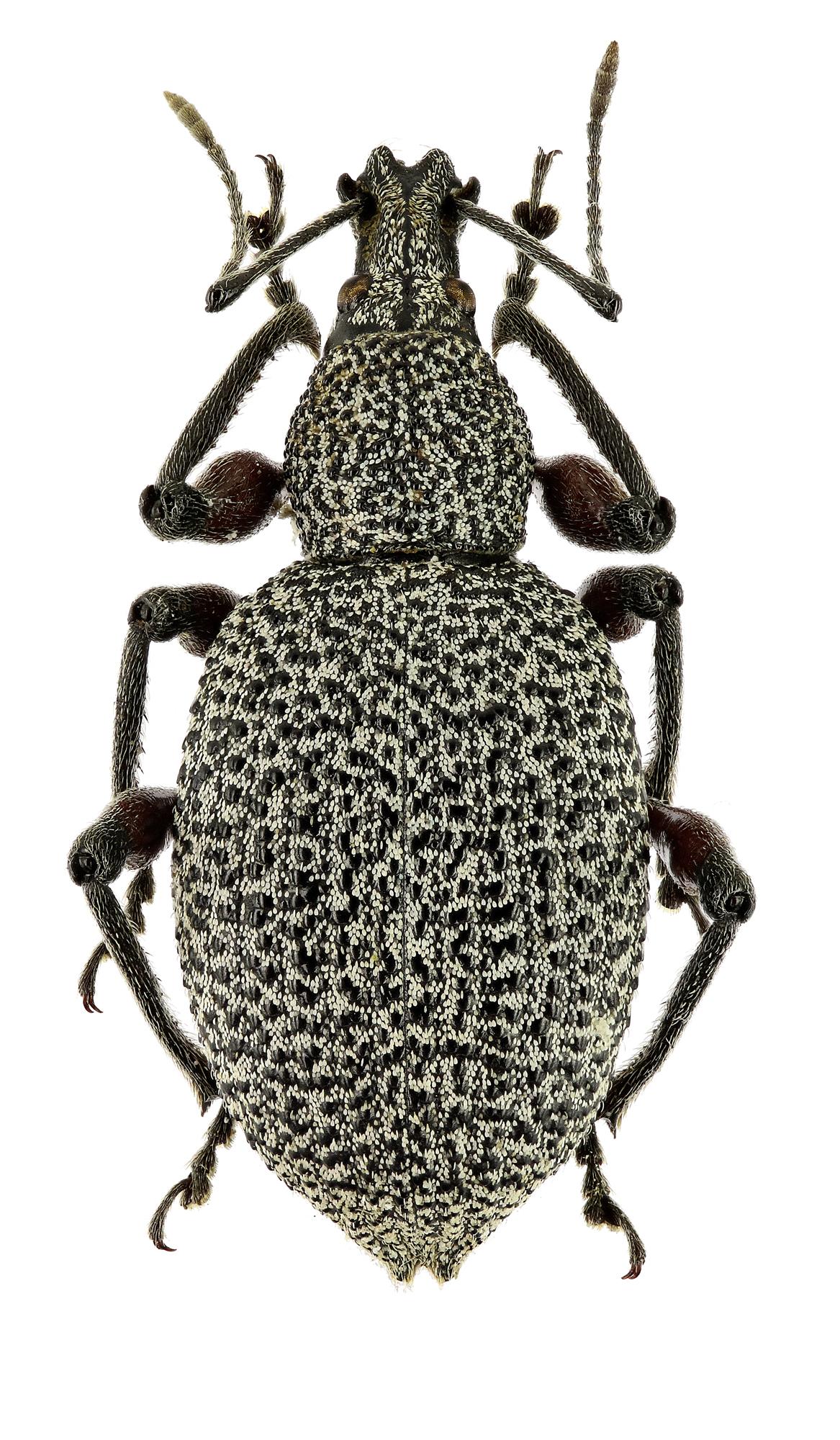 Otiorhynchus (Otiorhynchus) rhacusensis EOS 70D 7781cz03.jpg